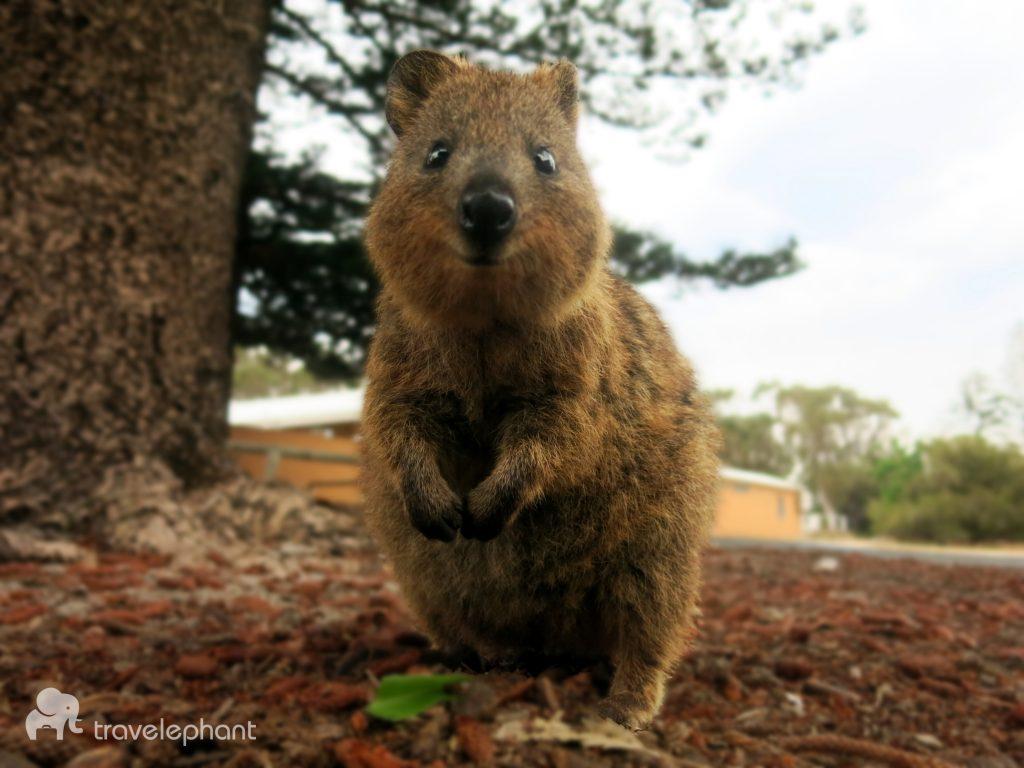 rottnest island western australia quokka travelephant